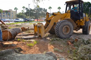 Warren Hunt works to tow away segments of trees that were cut down at the Safety Harbor Resort and Spa.
