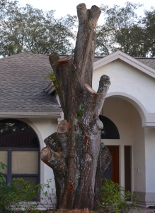 """The remains of a """"mature, multi-limbed oak"""" that was removed at 2301 Eaton Ct. in Safety Harbor."""